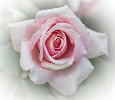Photograph - Pink Rose, Sweet And Soft by Venetia Featherstone-Witty
