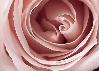 Photograph - Pink Rose by Windy Osborn