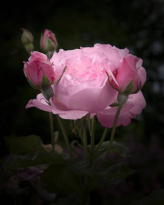 Photograph - Pink Rose With Buds by Michele Loftus