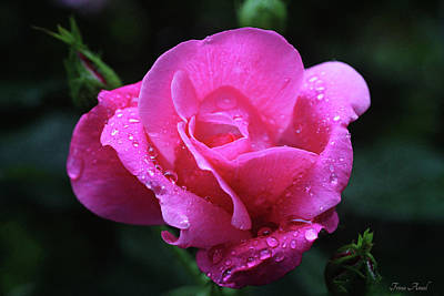 Photograph - Pink Rose With Raindrops by Trina Ansel
