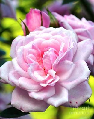 Photograph - Pink Rose by Zaira Dzhaubaeva