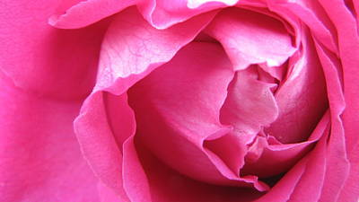 Floral Photograph - Pink Rose by Zara GDezfuli
