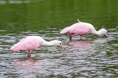 Photograph - Pink Roseate Spoonbills Feeding by Debra Martz