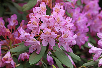 Photograph - Pink Rosebay Rhododendron by Mary Bedy