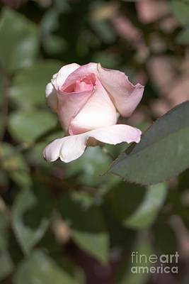 Photograph - Pink Rosebud by Kerri Mortenson