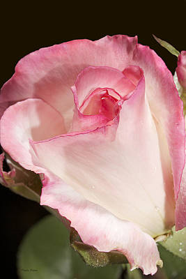 Photograph - Pink Rosebud by Phyllis Denton
