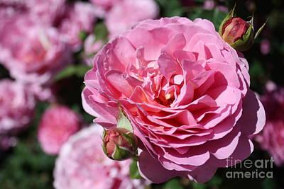 Photograph - Pink Rosebud Sandwich by Danielle Groenen