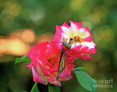 Pink Roses And Butterfly Photo Art Print