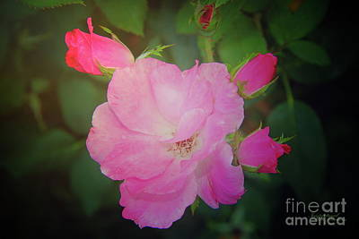 Photograph - Pink Roses  by Inspirational Photo Creations Audrey Woods
