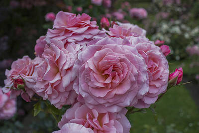 Photograph - Pink Roses by Ian Mitchell