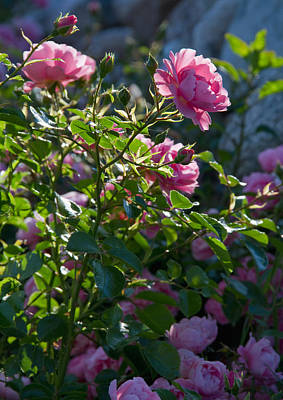 Botanic Photograph - Pink Roses In Sunshine by Lise-Lotte Larsson