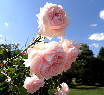 Photograph - Pink Roses In The Sky by Kate Gallagher