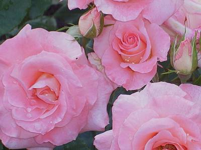 Photograph - Pink Roses by Nancy Pauling