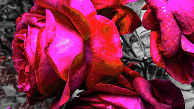 Photograph - Pink Roses by Pacific Northwest Imagery