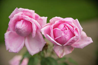 Photograph - Pink Roses by Tom Cochran
