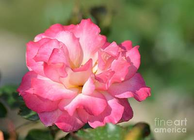 Photograph - Pink Ruffled Rose by Maria Urso