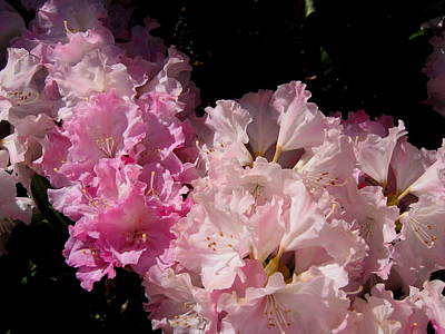 Photograph - Pink Ruffles by Larry Bacon
