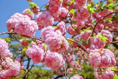 Photograph - Pink Sakura Cherry Blossom by Benny Marty