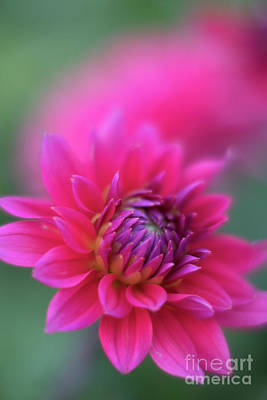 Photograph - Pink Screamer by Mike Reid