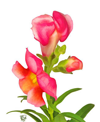 Manip Photograph - Pink Snapdragon by Stephen Kinsey
