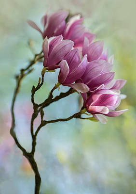 Photograph - Pink Soulange Magnolia by Jaroslaw Blaminsky