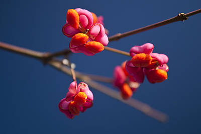 Photograph - Pink Spindle Fruit by David Isaacson
