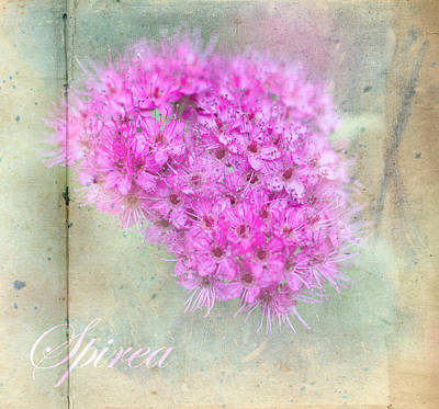 Photograph - Pink Spirea by Mother Nature
