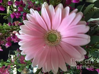 Photograph - Pink Spring Gerbera Daisy by Jeannie Rhode