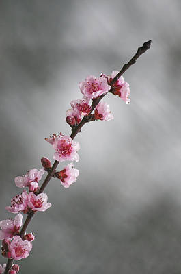 Photograph - Pink Spring II by Paulo Goncalves