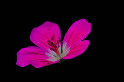 Pink Stamen Art Print by Richard Patmore