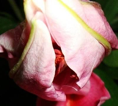 Photograph - Pink Stargazer Lily  by Deborah Lacoste