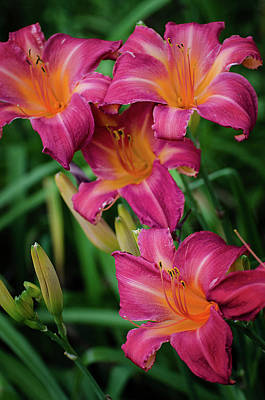 Photograph - Pink Striped Day Lilies by Susan McMenamin