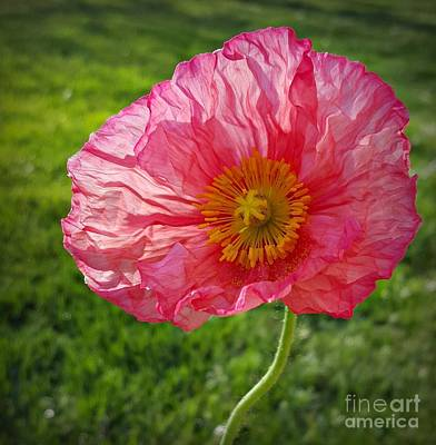 Photograph - Pink Sunlit Poppy  by Chalet Roome-Rigdon