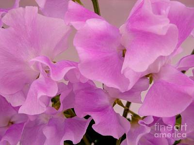 Photograph - Pink Sweetpeas by Joan-Violet Stretch