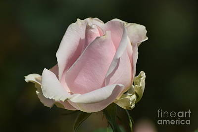 Photograph - Pink Tea Rose Bud by Jeannie Rhode