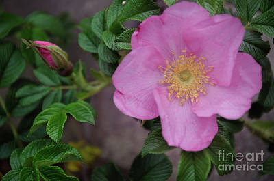 Photograph - Pink Tea Rose by Debra Fedchin