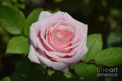 Photograph - Pink Tea Rose In Bloom by Jeannie Rhode