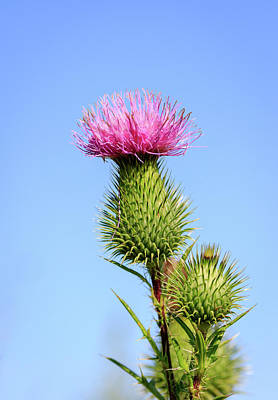 Photograph - Pink Thistle by Joni Eskridge