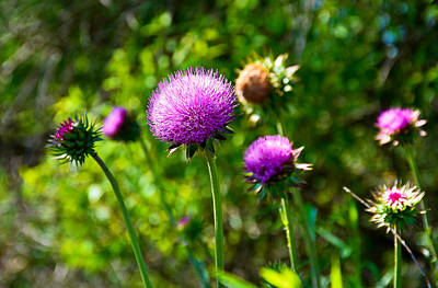 Photograph - Pink Thistle Study 1 by Robert Meyers-Lussier