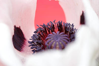 Photograph - Pink Through The Poppy by Lisa Knechtel
