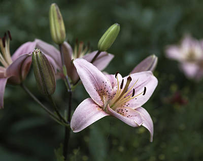 Photograph - Pink Tiger Lily by Jason Moynihan