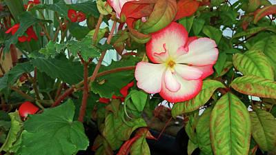 Photograph - Pink Tipped Begonia by Nareeta Martin