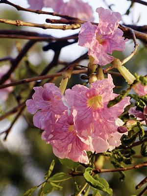 Pink Trumpet Blooms On Tree Art Print