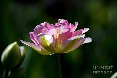 Art Print featuring the photograph Pink Tulip by Angela DeFrias