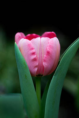 Photograph - Pink Tulip by Dale Kincaid