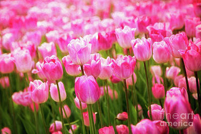 Photograph - Pink Tulip Field by Sharon McConnell