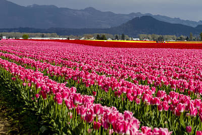 Photograph - Pink Tulip Fields by Teri Virbickis