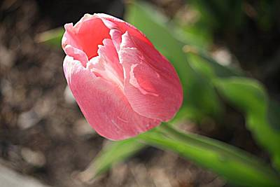 Photograph - pink tulip II by Donna G Smith