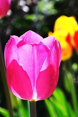 Photograph - Pink Tulip In Sunlight by Kim Bemis