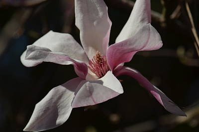 Photograph - Pink Tulip Magnolia by Maria Urso